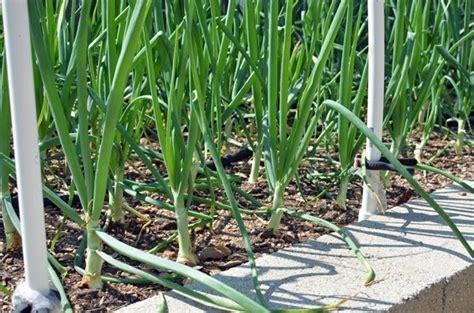piantare cipolle in vaso coltivare cipolle coltivare orto consigli per la