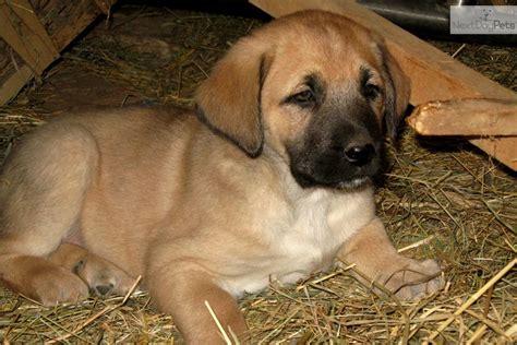 anatolian shepherd puppies for sale anatolian shepherd puppies for salejpg breeds picture