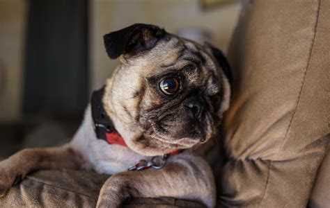 big eyed pug pugs wallpaper