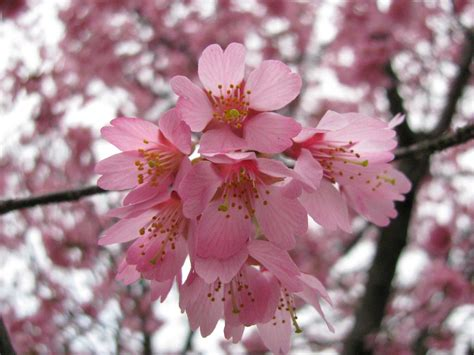cherry blossoms images flowers images pink cherry blossom hd wallpaper and