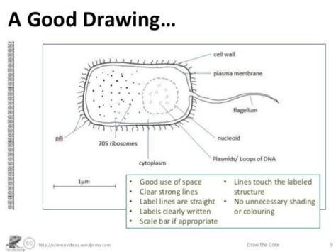 drawing biological diagrams lesson 6 biological drawings using