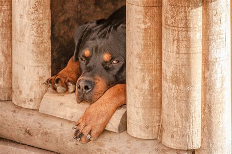 dog house for rottweiler free photo rottweiler dog sleep dog house free image on pixabay 1771878