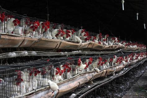 allevamento galline ovaiole in gabbia l italia rischia sanzione ue da 10milioni per colpa delle