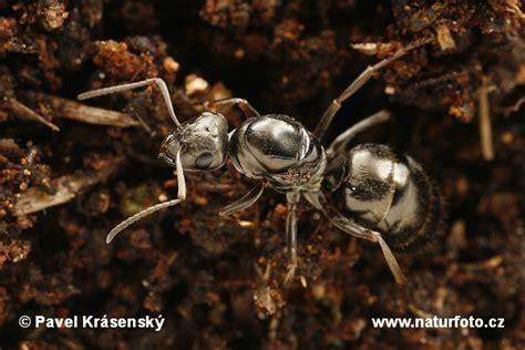 black ant black ant photos black ant images nature wildlife