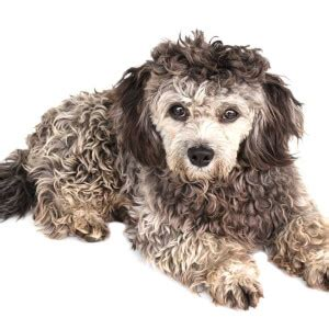 lifespan of a shih tzu poodle shih poo breed 187 everything about shih poos