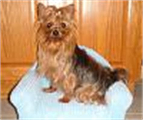 legged yorkie legged yorkie yorkietalk forums terrier community