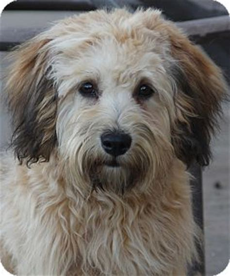 havanese terrier mix bowie adopted san pedro ca havanese wheaten terrier mix