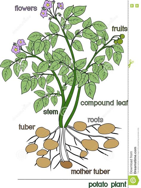 Beschriftung Kartoffelpflanze by Kartoffelpflanze Vektor Abbildung Illustration Von
