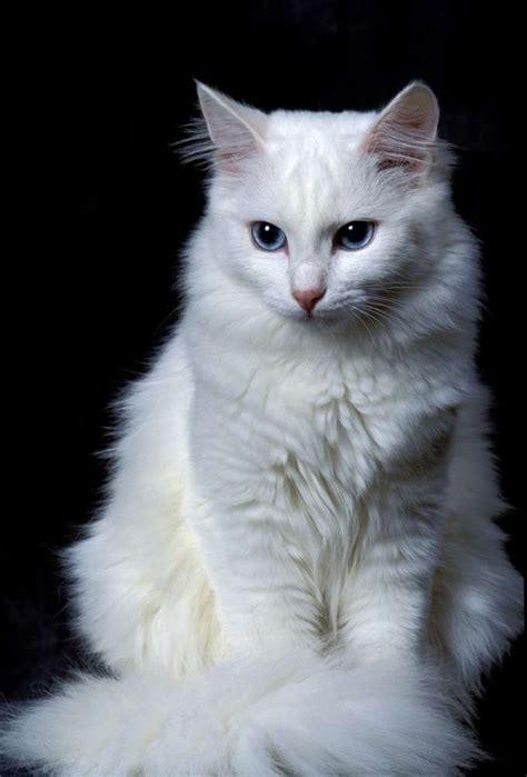 Sho Khusus Kucing Anggora 9 ciri kucing anggora asli yang lucu binatang peliharaan