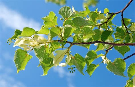 fiori di tiglio tiglio tilia alberi pianta di tiglio