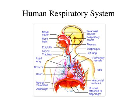 images of the respiratory system image of respiratory system of human human