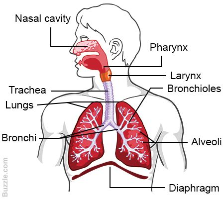 the human lungs diagram respiratory system easy anatomy