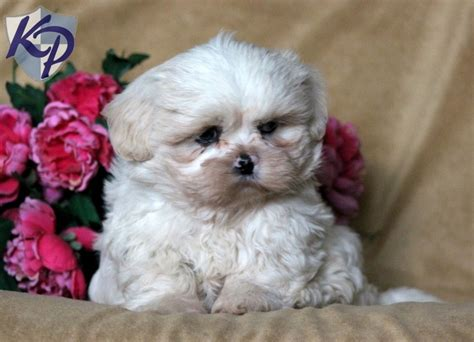 shih tzu puppies in pa pin by donece on my style