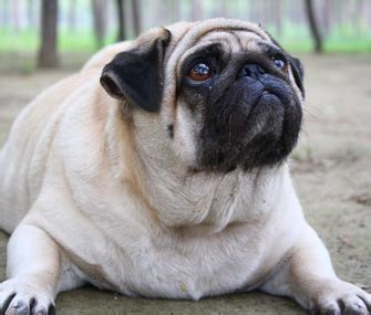 overweight pugs the pet reality gap