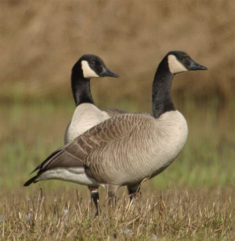 images of geese 301 moved permanently