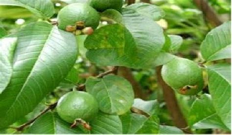 Daun Jambu Batu Segar atlas tumbuhan herbal daun jambu biji psidii folium