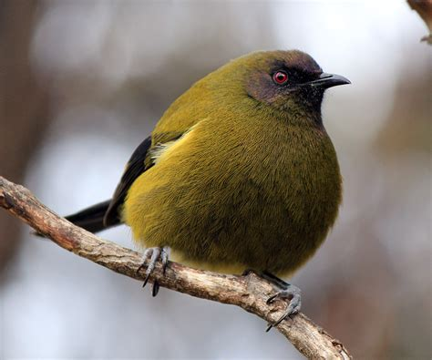 bellbird birding nz