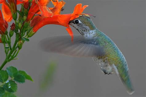 hummingbirds and pollination