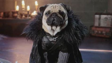 pug of thrones pop news pugs in costume recreate of thrones abc news