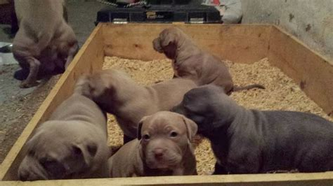 4 week pitbull puppy abkc adba pitbull puppy 4 weeks puppies for sale litle pups