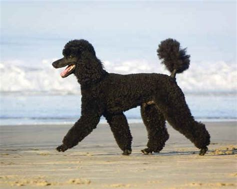 poodle puppies for sale standard poodle puppies for sale puppies for sale poodle laurietooker