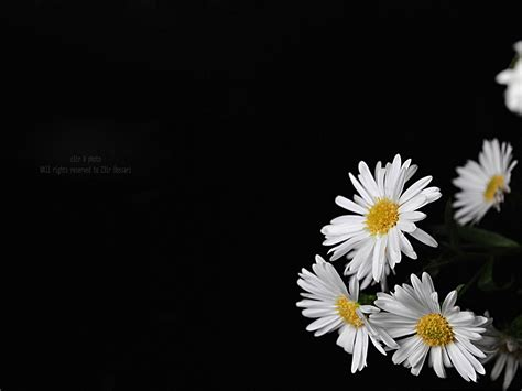 wallpaper black with flowers flowers on black background wallpaper 25 free hd wallpaper