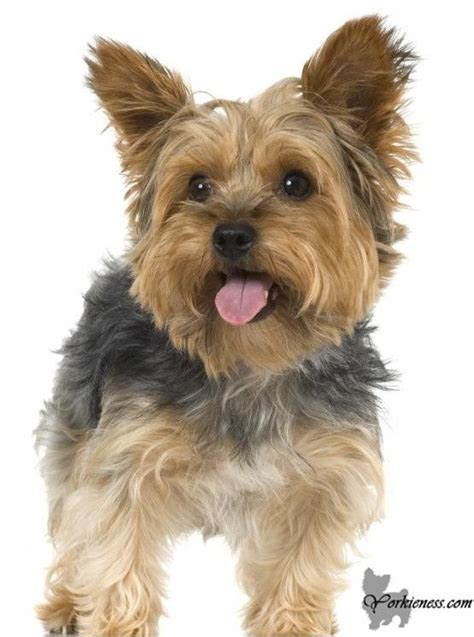different type of yorkies different types of yorkie coats with pictures terrier breed 187