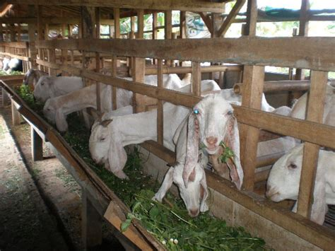 Jual Bibit Kambing Jawa Randu 301 moved permanently