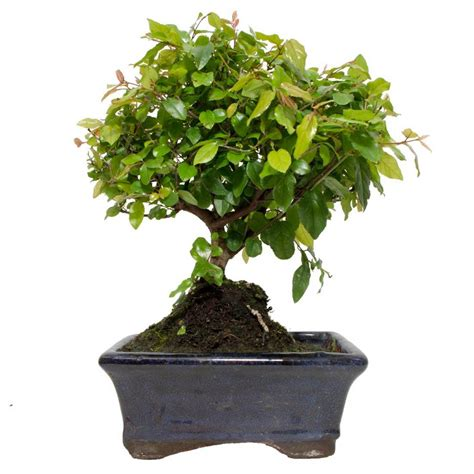 Instant Bonsai Just Remove Genes by Pin Sageretia Bonsai On