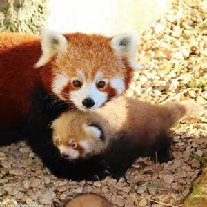 Baby Panda One longleat zookeepers celebrate the extremely birth of