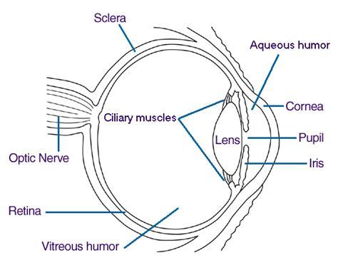 blank eye diagram blank human eye diagram