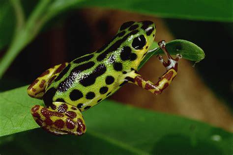 Duvet Green Strawberry Poison Dart Frog Dendrobates Photograph By Mark