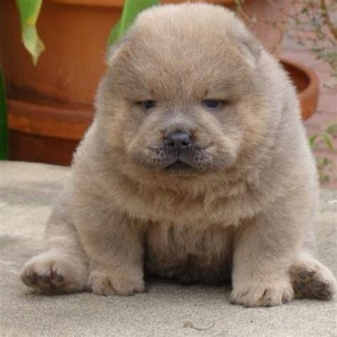 chow chow puppies for sale in ohio baby chow chow animals that touched my