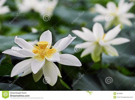 fiore di loto bianco fiore di loto bianco immagine stock libera da diritti