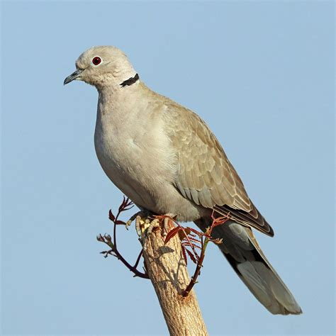 dove mating the best dove in 2018