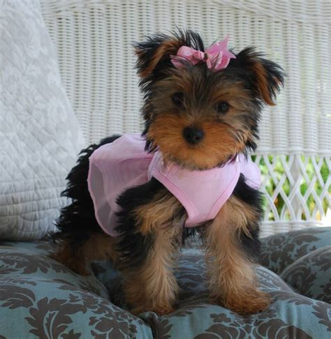 yorkie pup for sale grown morkie weight breeds picture