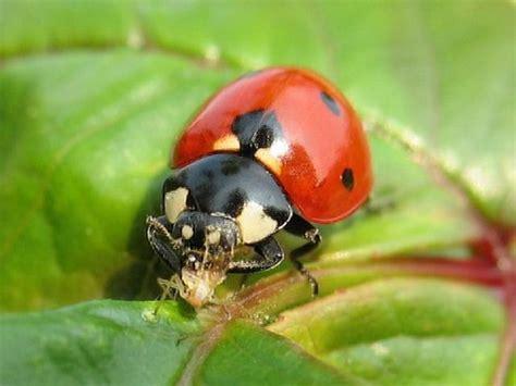 formiche volanti rimedi rimedi naturali contro i pidocchi delle piante