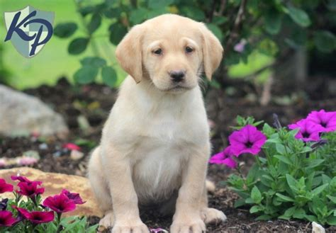 labrador retriever puppies for sale in pa labrador retriever yellow puppies for sale in pa breeds picture