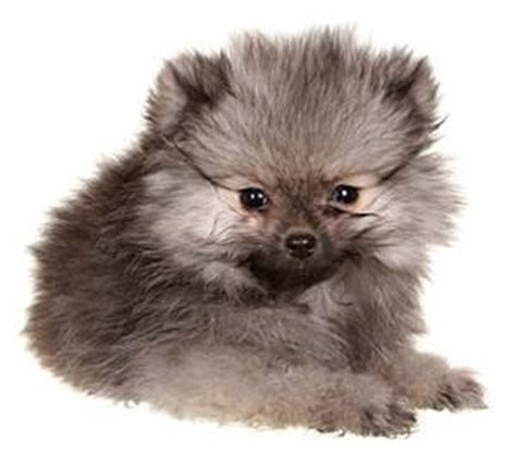 wolf pomeranian cost related keywords suggestions for pomeranian