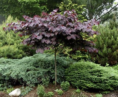 full size picture of eastern redbud canadian redbud judas tree forest pansy cercis