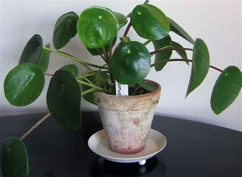 Plants Easy To Grow Indoors | easy to grow indoor plants photos pics 233088 boldsky