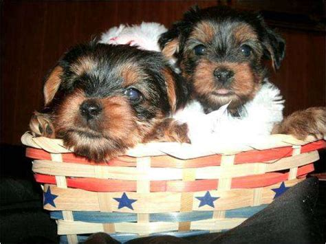 teacup yorkies for sale in jacksonville fl akc teacup yorkie puppies 517 492 9885 for sale adoption from jacksonville