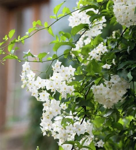 small climbing plants 17 best images about climbing flowers plants on
