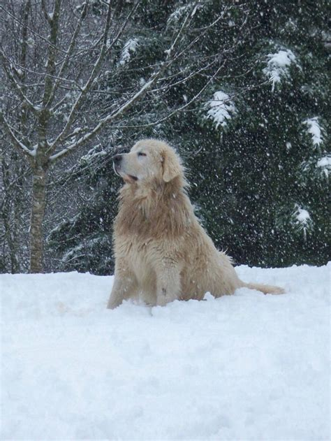 snow golden retrievers golden retriever in the snow it s snowing
