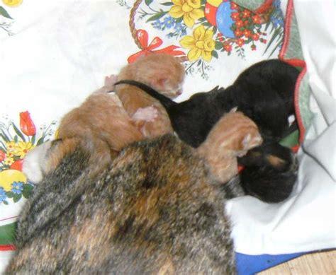 wann kann eine katze trächtig werden ohmannomann wann gehts denn los tr 228 chtige katze
