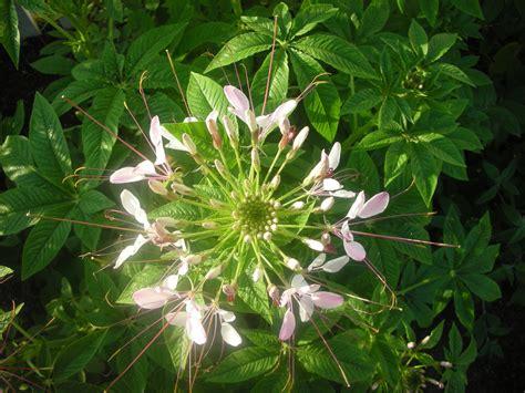cannabis flower spider flower cleome hasslerana