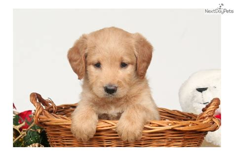 ginger doodle puppy ginger labradoodle puppy for sale near lancaster