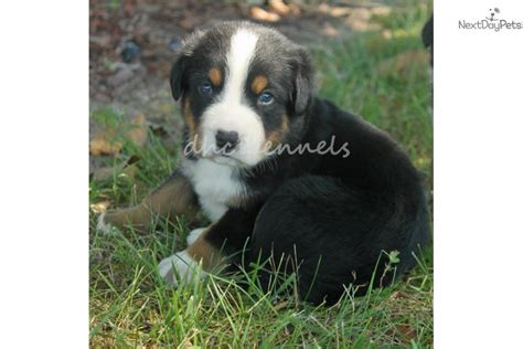 greater swiss mountain for sale swiss breeds breeds picture