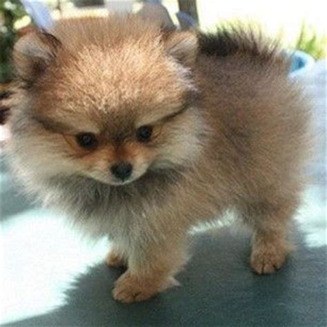 what does a pomeranian look like 25 best ideas about baby pomeranian on bears baby dogs and