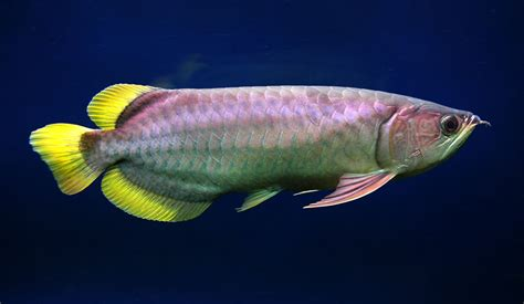 Arwana Golden type arowana and indonesia arowana planetanimalzone